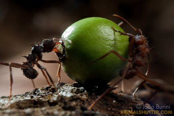 Leaf cutter ants trying to rip a fruit