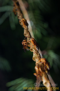 Unusual string wasp nest
