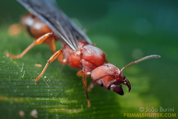 Winged red ant queen