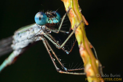 Details of a blue damselfly