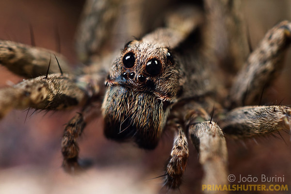 Portrait of a wolf spider with focus on it's eyes