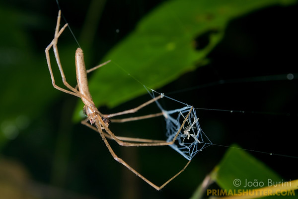 Net casting spider capturing prey