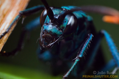 Portrait of a blue tarantula hawk wasp
