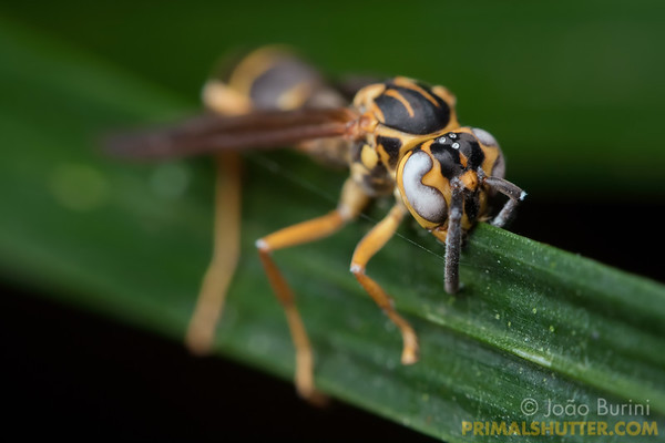 Paper wasp parasited by entomophatogenic fungus