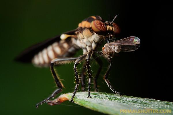 Robberfly feeding on barklice prey