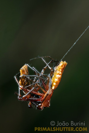 Male spined orb weavers fighting on a web