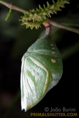 Green moth pupa
