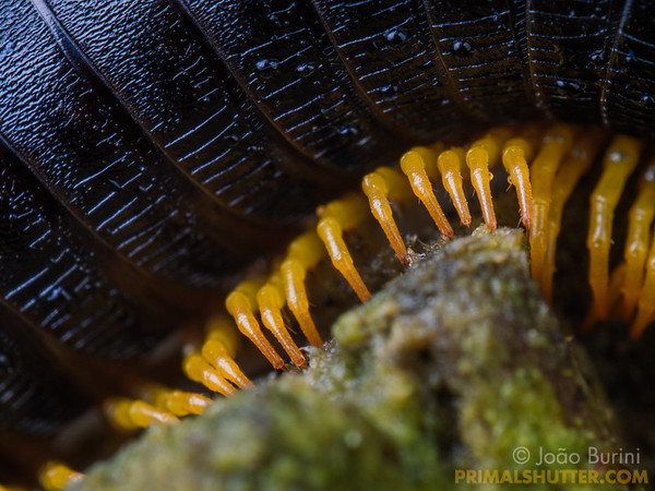 Details of legs from a millipede