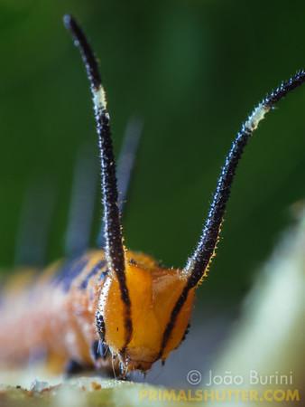 Portrait of a horned caterpillar