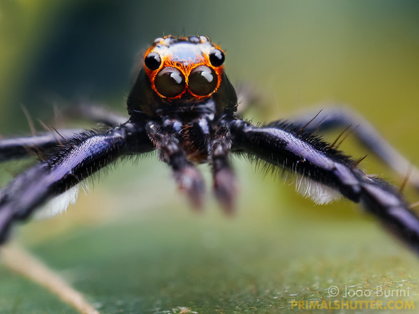 Frontal portrait of a black jumping spider