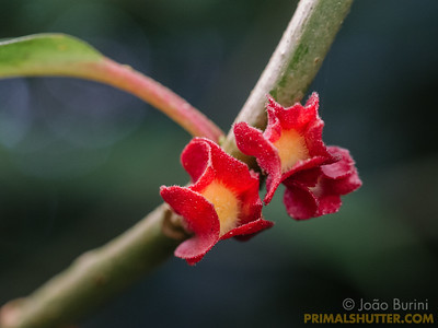 Blossoms of a vine