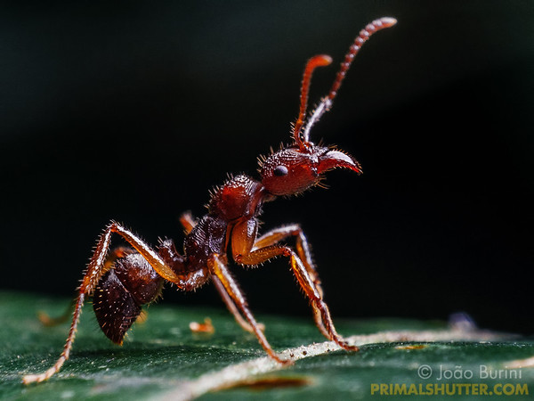 Details of a red predatory ant