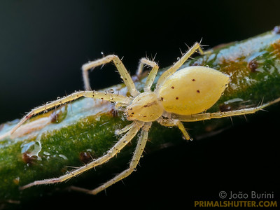 Yellow ghost spider with dew drops