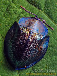 Tortoise beetle with a metallic looking carapace