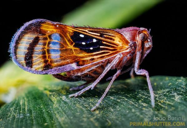 Spider-mimicking planthopper