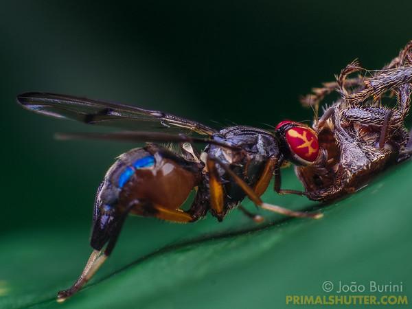 Fly feeding on a beetle carcass