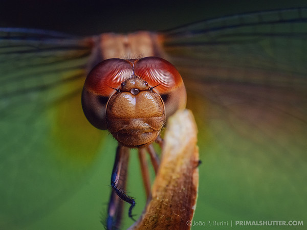 Frontal portrait of a dragonfly