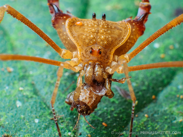 Yellow harvestman (Roeweria virescens) feeding on a grasshopper
