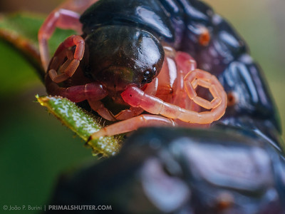 Close-up of a scolopendrid centipede