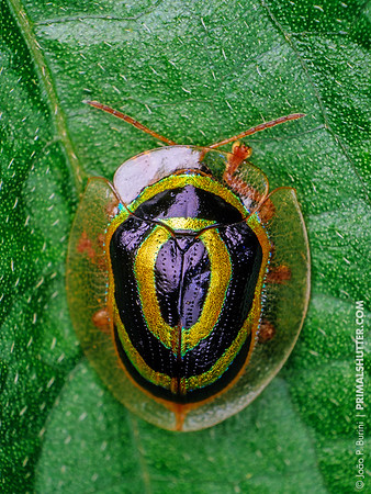 """""""Target"""" tortoise beetle, Cassidinae"""