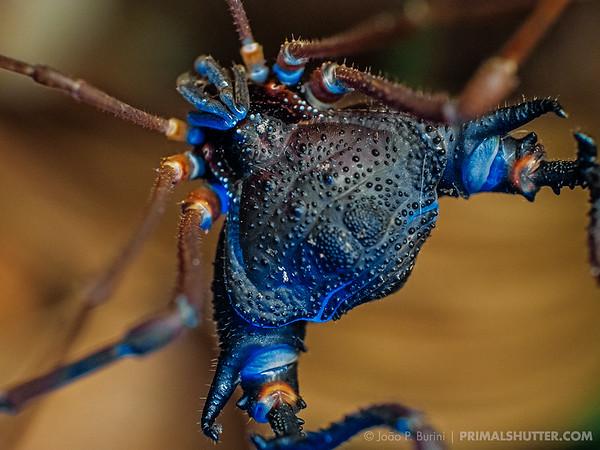 Neosadocus harvestman glowing in ultraviolet