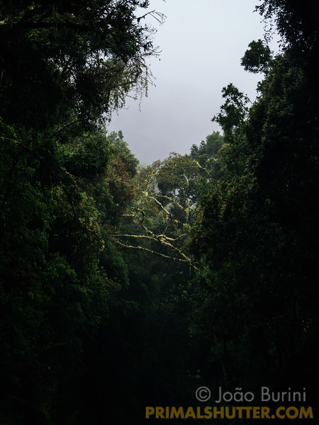 Bridge of trees across the forest canopy
