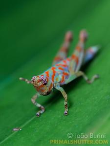 Colorful aquatic grasshopper nymph