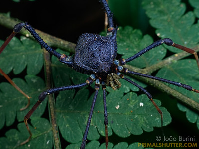 Harvestman from the atlantic forest