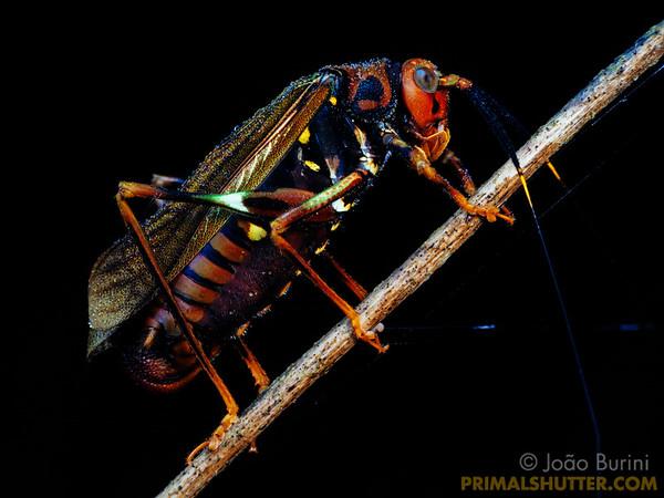 Wasp-mimicking katydid