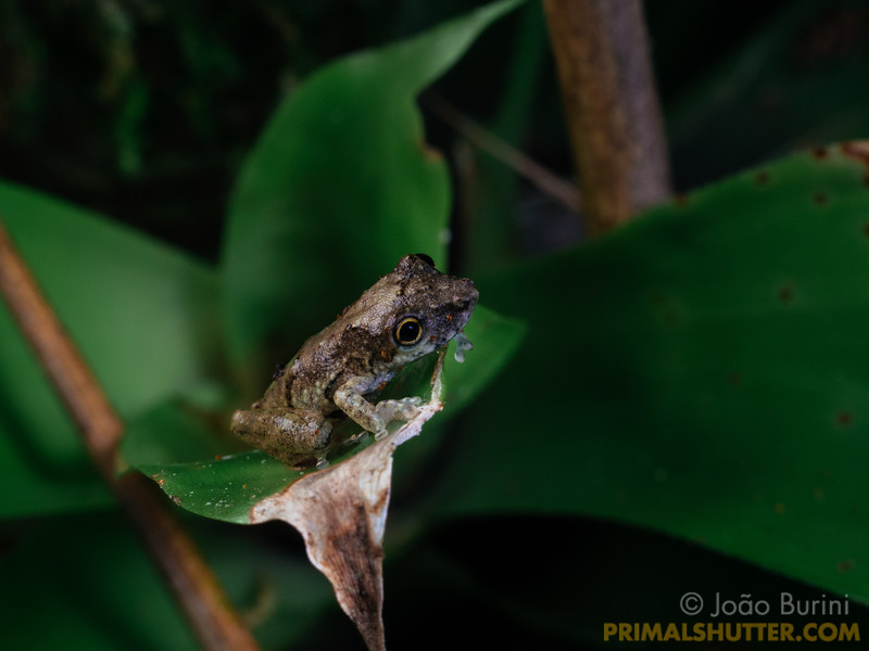 Scinax treefrog on a small bromeliad