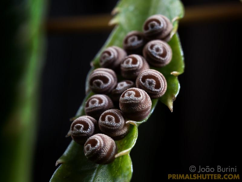 Pentatomid bug eggs looking like eyes