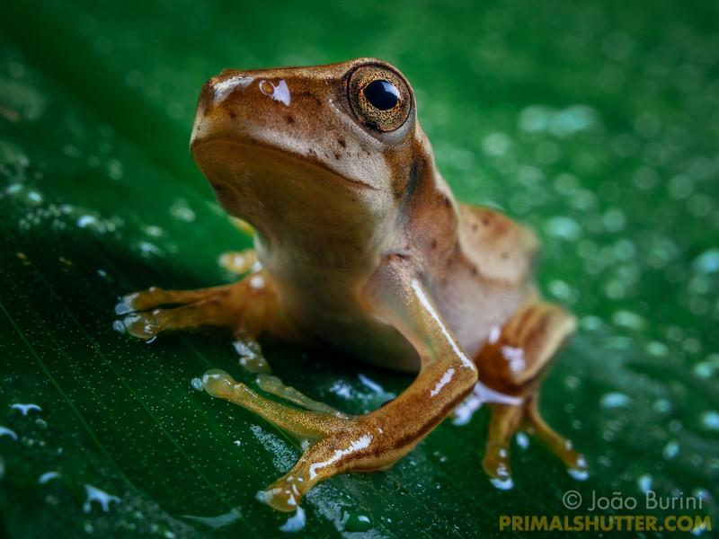 Treefrog under the rain
