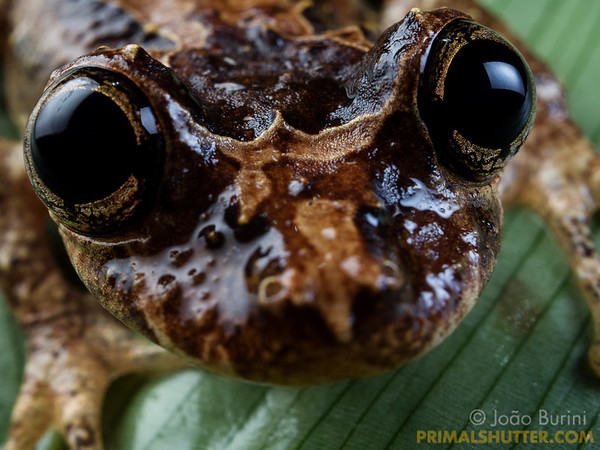 The huge eyes of a Sinax tree-frog