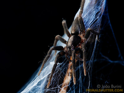 Prowling spider on it's web