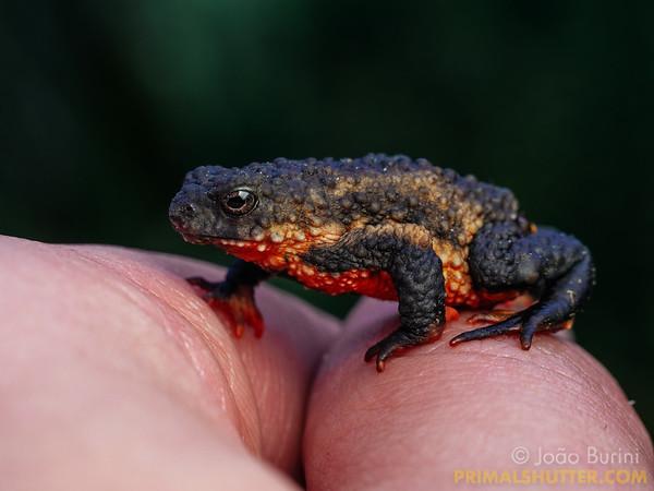 Maldonada's redbelly toad on hand