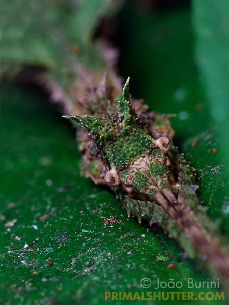 Lichen-looking stick bug
