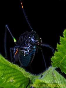 Wasp-mimicking katydid, black morph