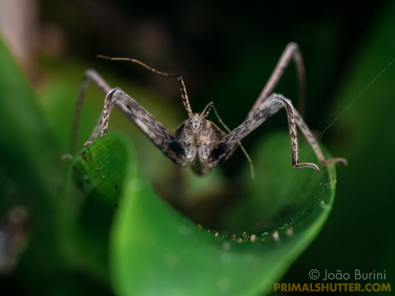 Frontal portrait of an assassin bug