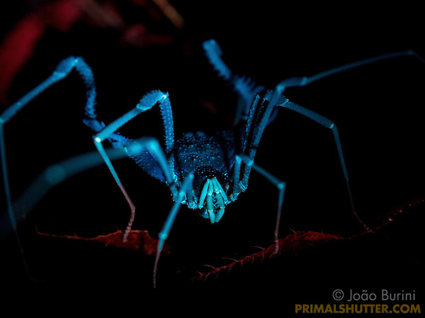 Ultraviolet glow of a harvestman from the atlantic forest