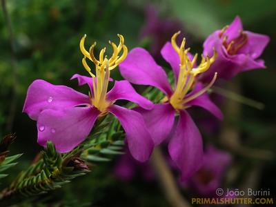 Purple flowers from a small shrub in Itatiaia