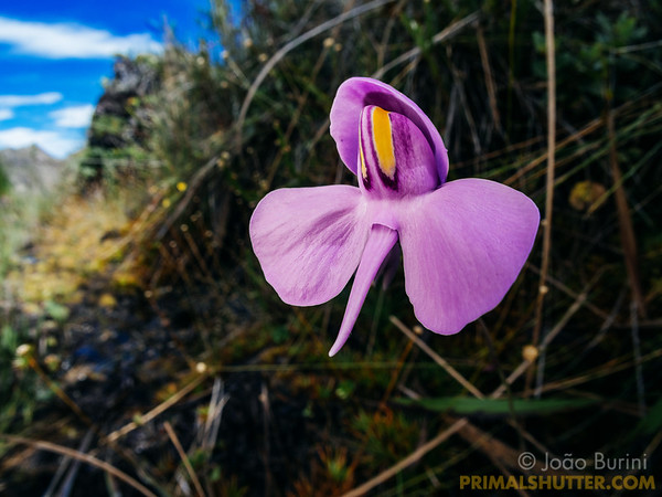 Flower of a carnivorous plant in Itatiaia