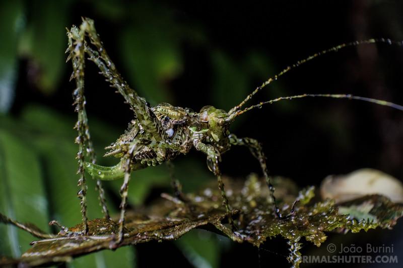 Lichen camouflaged katydid
