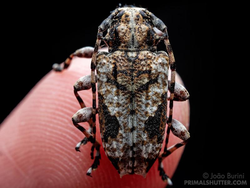 Ornate longhorn beetle on a finger