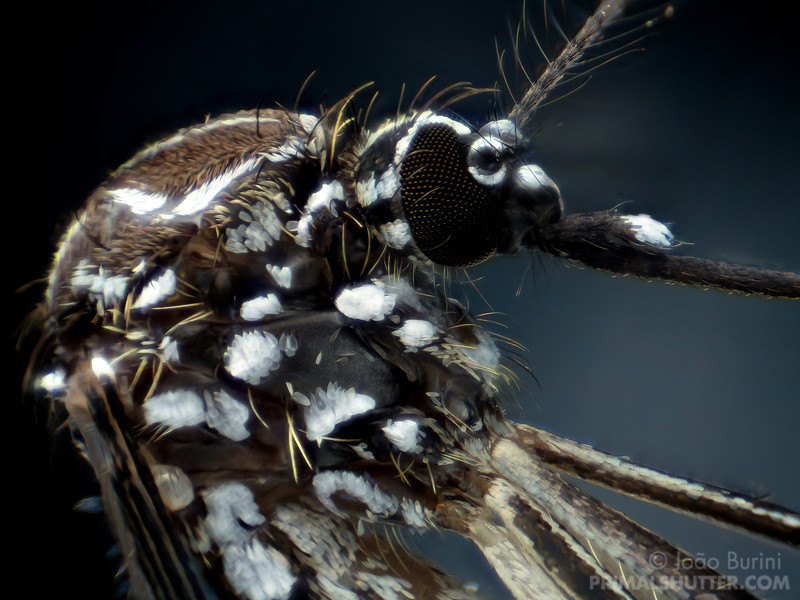 High magnification portrait of a dengue mosquito, pinned specimen