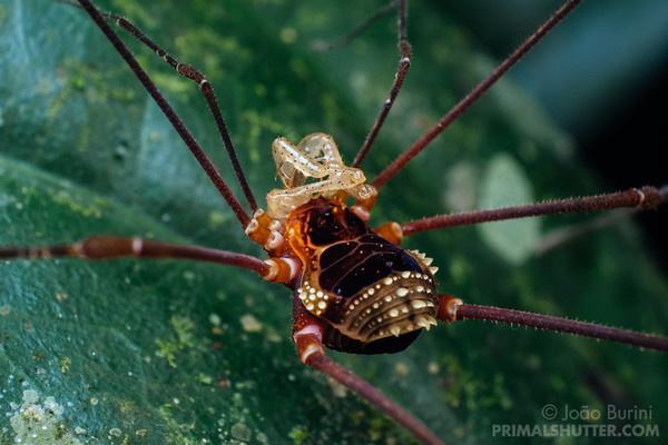 Close-up of a harvestman on a leaf