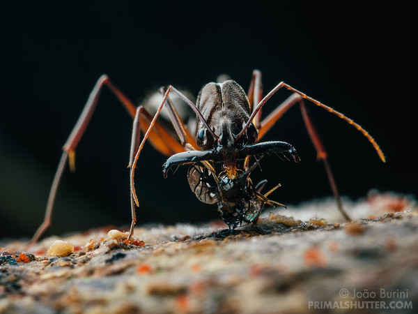 Trap jaw ant attacking a fruit fly