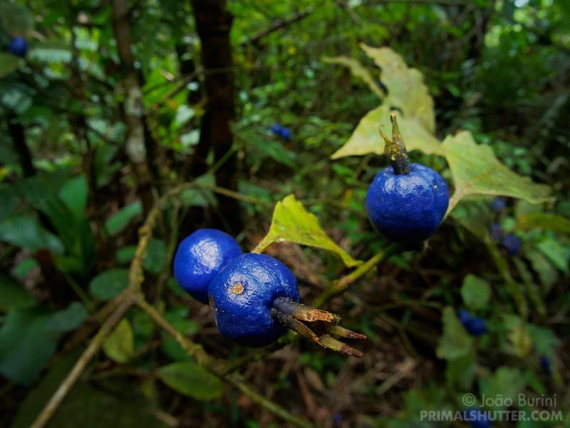Wide macro of rainforest berries