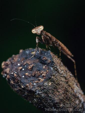 Praying mantis nymph posing over a branch