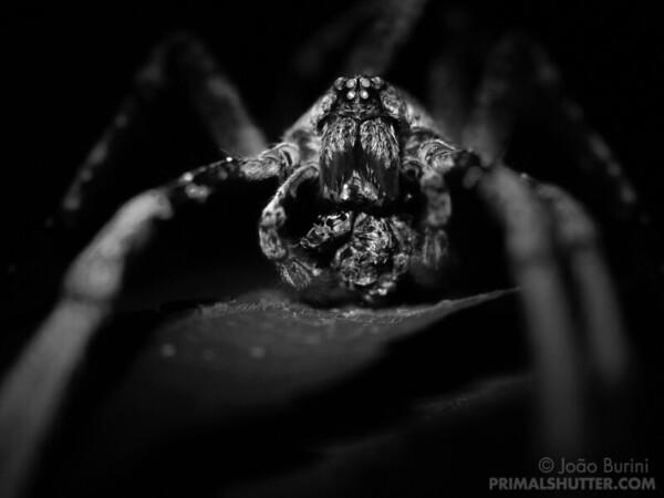 Fluorescence of a wandering spider feeding on it's prey