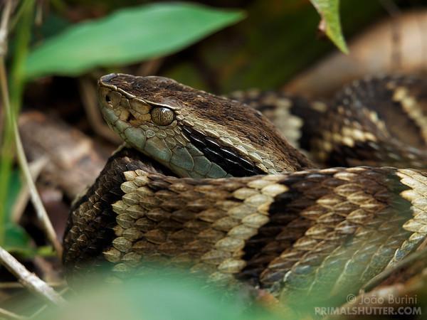 Pit viper resting on vegetation